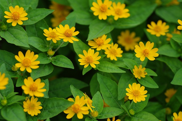 メランポジウムの花