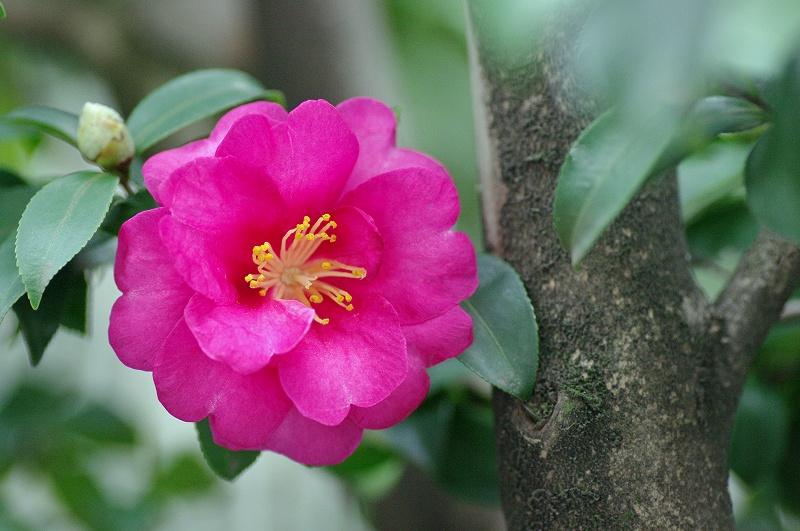 赤いさざんかのお花