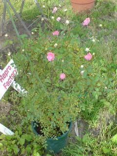 20100607 バラが咲いた