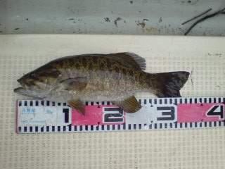 20100608 スワンプで釣れた