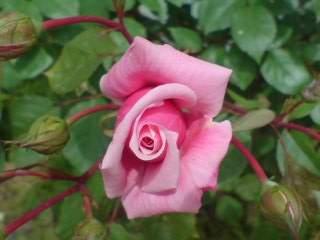 20100615 薔薇 南西側