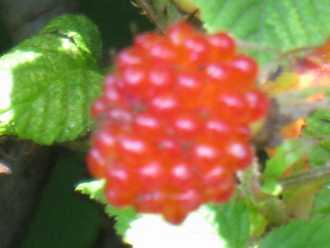 木イチゴ1