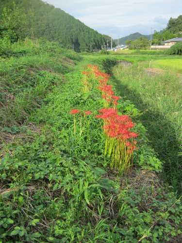 20110918higanbana.jpg