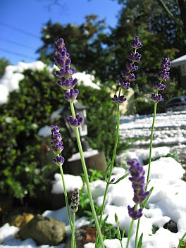 Lavender with snow