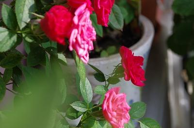 s-ロザリー薔薇
