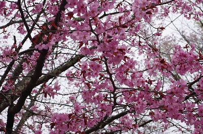 s-軽井沢の桜