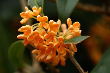 金木犀の花1a
