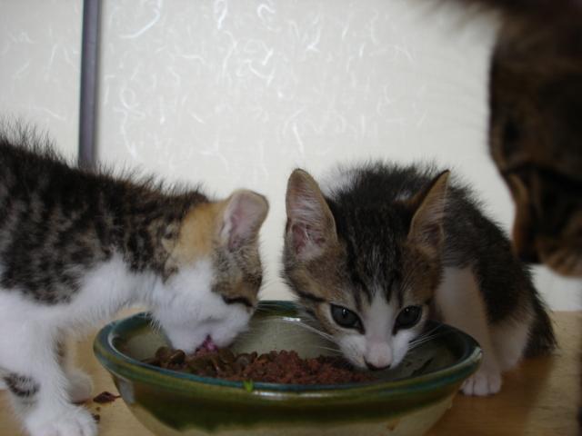 里親募集中の仔猫たち