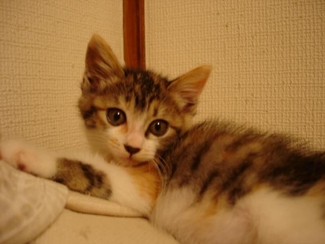 三毛猫チロル♀(現みよちゃん)
