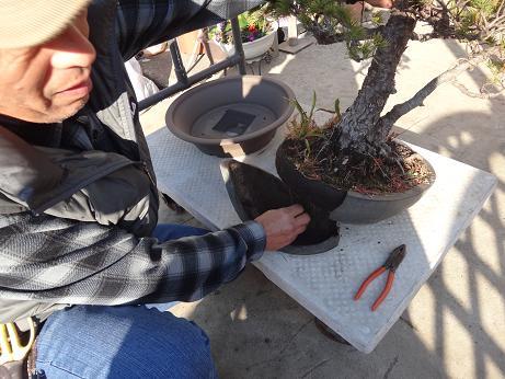 盆栽植え替え3