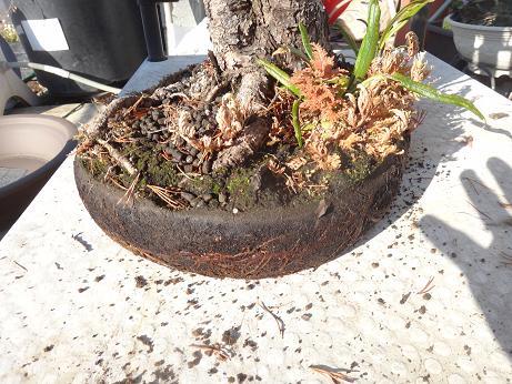盆栽植え替え4