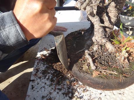 盆栽植え替え6