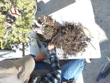 盆栽植え替え9