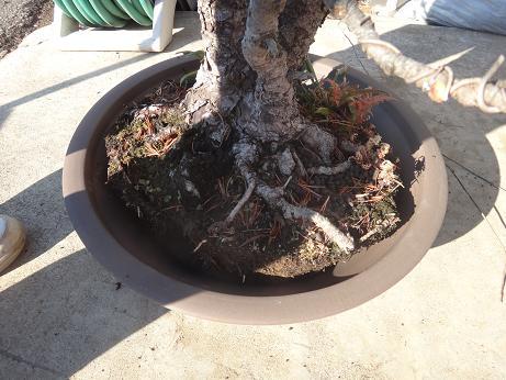 盆栽植え替え12