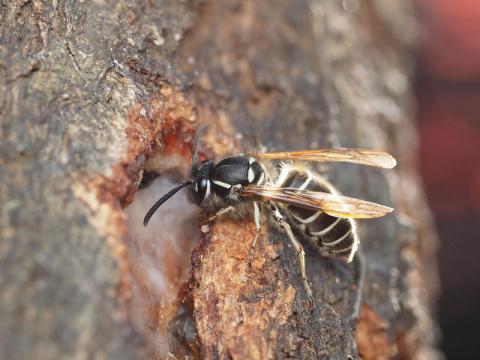シダクロスズメバチ1