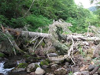 ⑭大きな倒木
