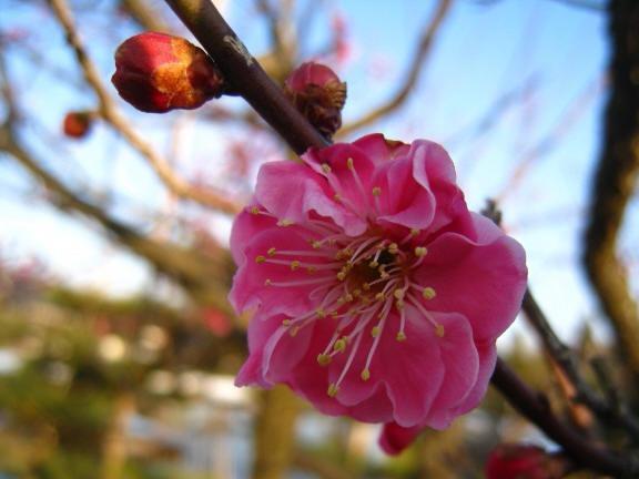 ♪梅は咲いたか 桜はまだかいな♪