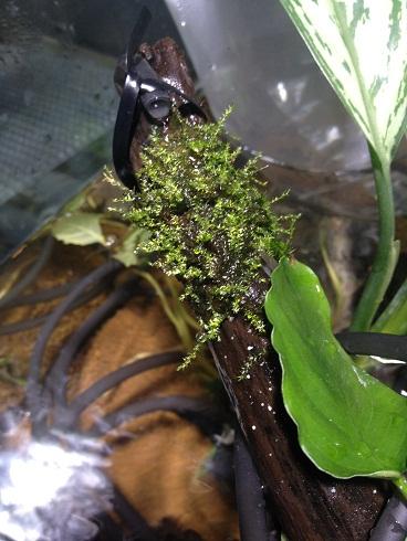 ウィローモス水上葉