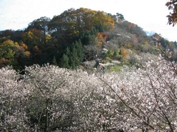 鬼石 桜山公園 冬桜