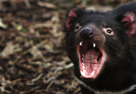 tasmanian-devil-snarling-ga[1]