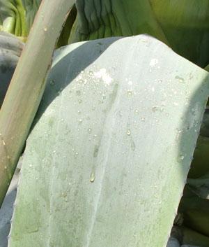 agave05011205.jpg