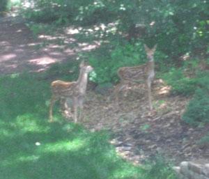 deer0606102.jpg