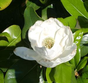 magnolia2.jpg