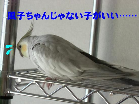 風子ちゃん、失恋!?