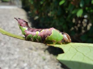 ホソバチャチホコの幼虫