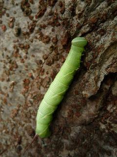 ウンモンスズメの幼虫?