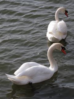 羽根大池の白鳥