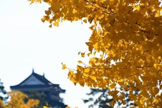 岡崎城とイチョウ