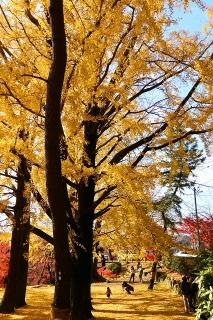 岡崎公園 イチョウ