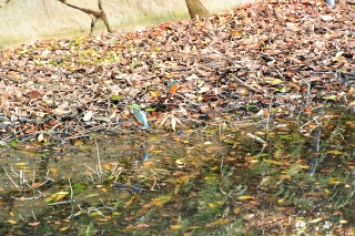 岡崎公園 カワセミ