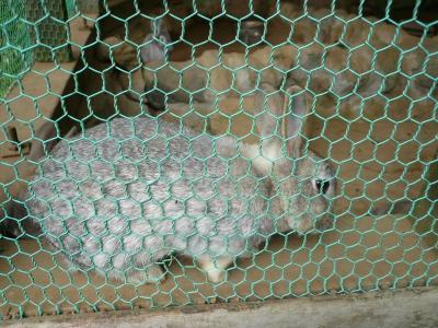 蓑毛のウサギさん