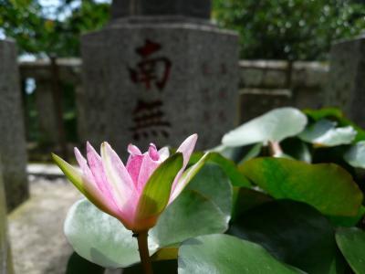 大山寺のハス