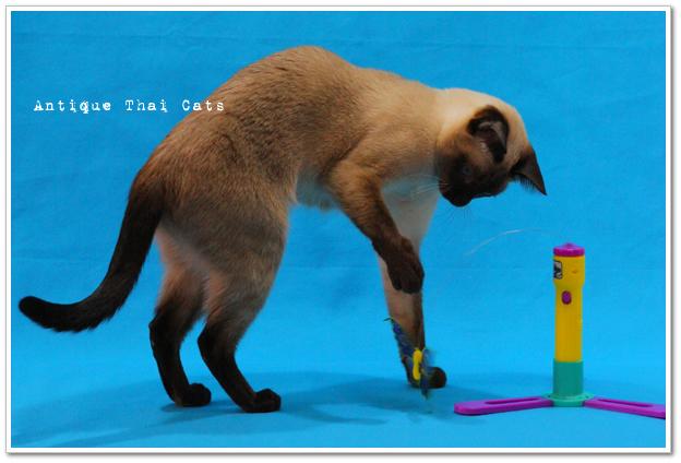 シャム猫 原種 猫 Siamese cat Thai แมว ไทย วิเชียรมาศ アンティークタイキャット