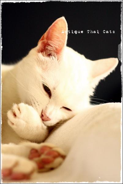 温玉 ontama カオマニー オッドアイ 猫 khaomanee oddeyes cat แมว ไทย ขาวมณี  Antique Thai Cats アンティークタイキャット