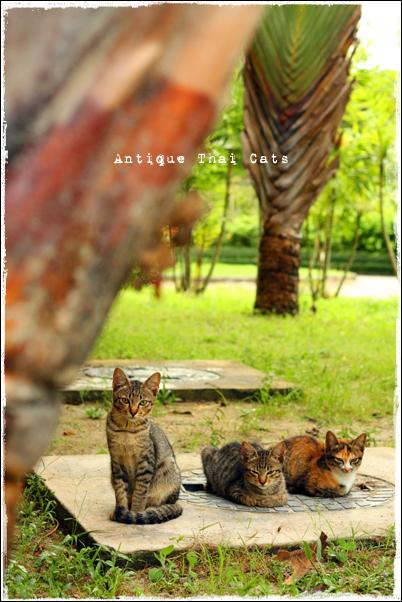 タイ バンコク ソト猫 野良猫 地域猫 猫 mix cat Thai แมว ไทย アンティークタイキャット