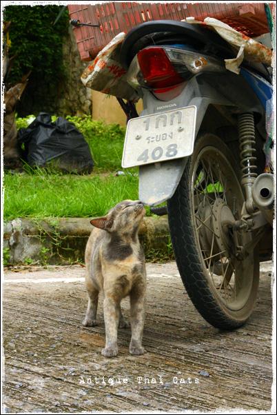 タイ ソト猫 野良猫 地域猫 stray alley mix cat Thailand แมว ไทย アンティークタイキャット