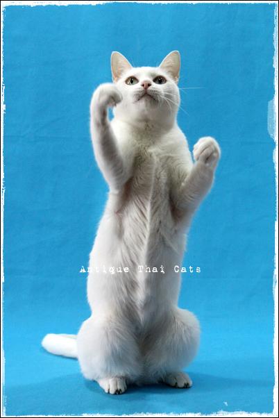 猫 タイ カオマニー オッドアイ 温玉 cat Thailand khaomanee oddeyes ontama แมว ไทย ขาวมณี ตา2สี Antique Thai Cats アンティークタイキャット