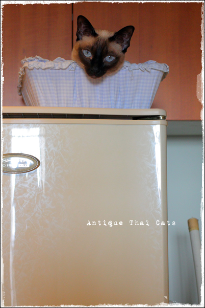 猫 シャム猫 原種 猫とろ玉 Siamese cat Thailand torotama แมว ไทย วิเชียรมาศ Antique Thai Cats アンティークタイキャット