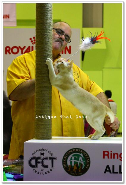 コンテスト 猫 ロイヤルカナン RoyalCanin cat แมว ไทย アンティークタイキャット キャットショー show
