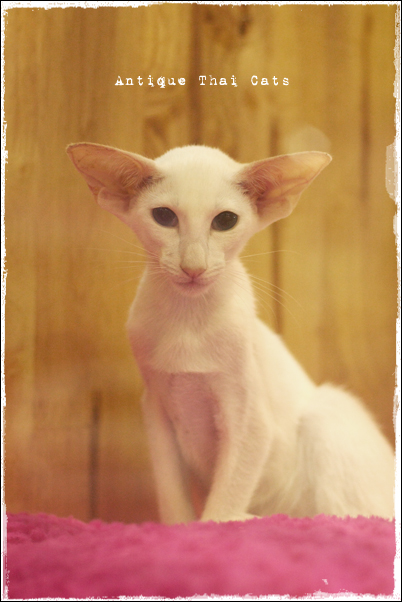 白猫cat แมว ไทย アンティークタイキャット キャットショー show オリエンタルショートヘア oriental oddeyes
