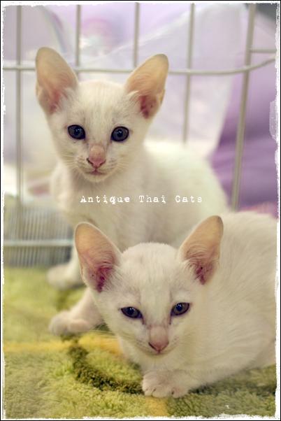 白猫cat แมว ไทย アンティークタイキャット キャットショー show 保護猫 里親 ボランティア