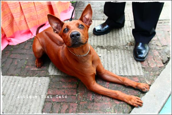 Thailand Ridgeback dog grand pet show タイ犬 ランアーン タイランドグランドペットショー สุนัข ไทย หลังอาง