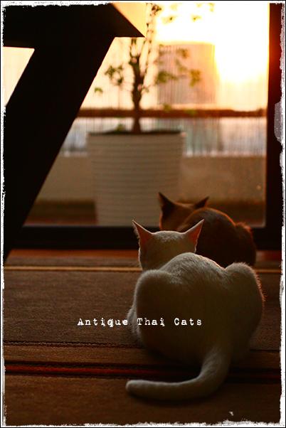 多頭飼い タイ猫 カオマニー シャム猫 Khaomanee Siamese cat แมวไทย ขาวมณี วิเชียรมาศ Antique Thai Cats アンティークタイキャット