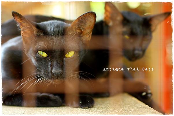 タイ 猫 タイ猫交配養育施設 cat Thailand House of breeding and Nature of Thai cats แมว ไทย บ้านแมวไทย アンティークタイキャッ