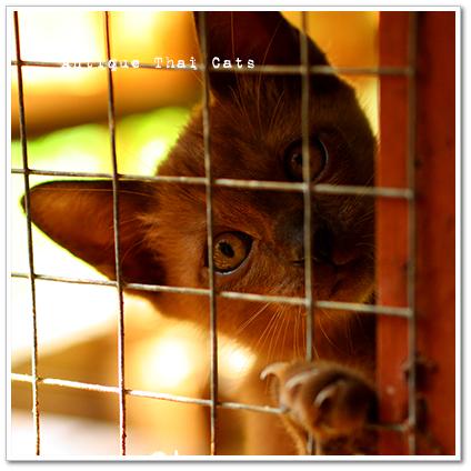 タイ 猫 タイ猫交配養育施設 cat Thailand House of breeding and Nature of Thai cats แมว ไทย บ้านแมวไทย アンティークタイキャット