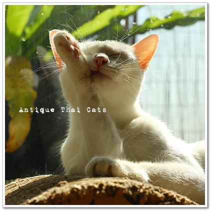 猫 カオマニー オッドアイ cat khaomanee oddeyes แมว ไทย ขาวมณี タイ猫